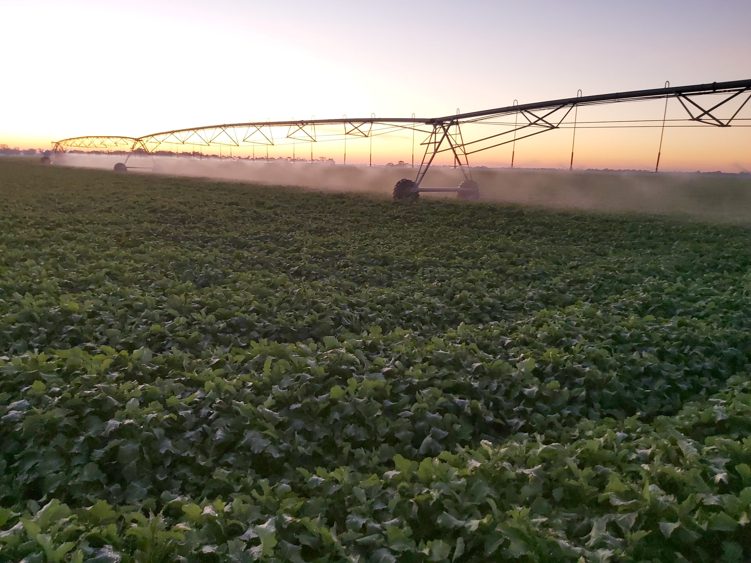 Irrigated Canola